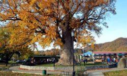 Тюльпанное дерево осенью - фото