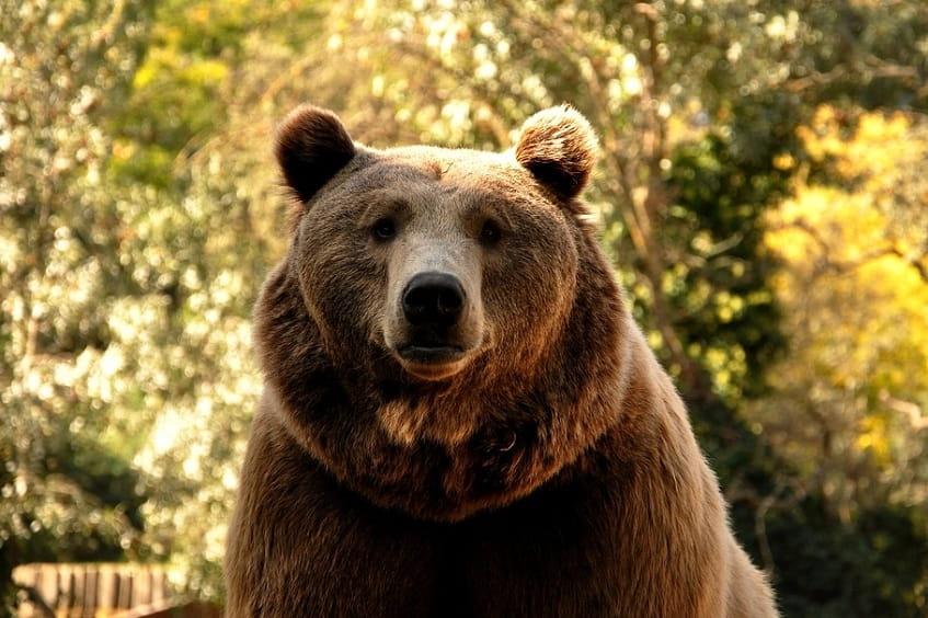 Бурый медведь - фото