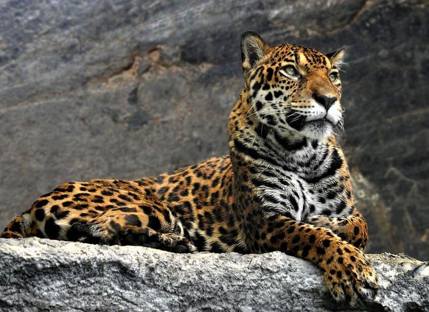 Леопард - фото