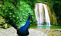 Павлин на фоне водопада - фото