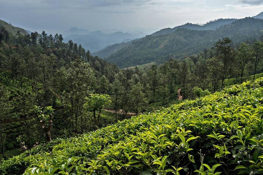 Чайные плантации неподалёку от пещер - фото