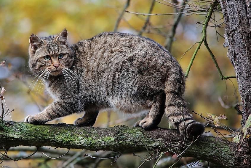 Лесной кот - фото