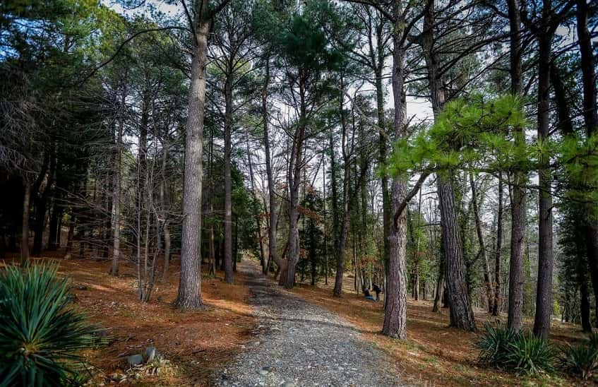 Сосны Верхнего парка - фото