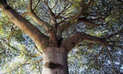 Дерево платан - фото