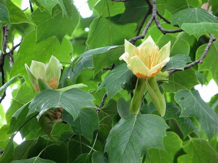 Цветы Тюльпанового дерева - фото