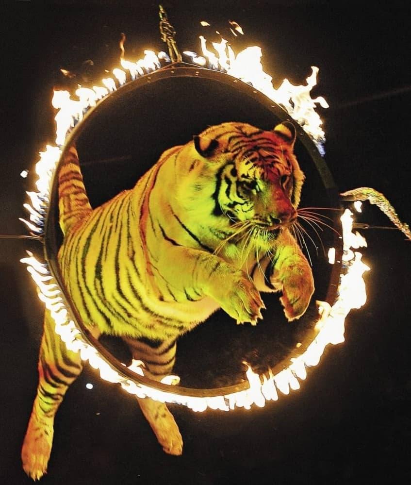 Прыгающий через горящее кольцо тигр - фото