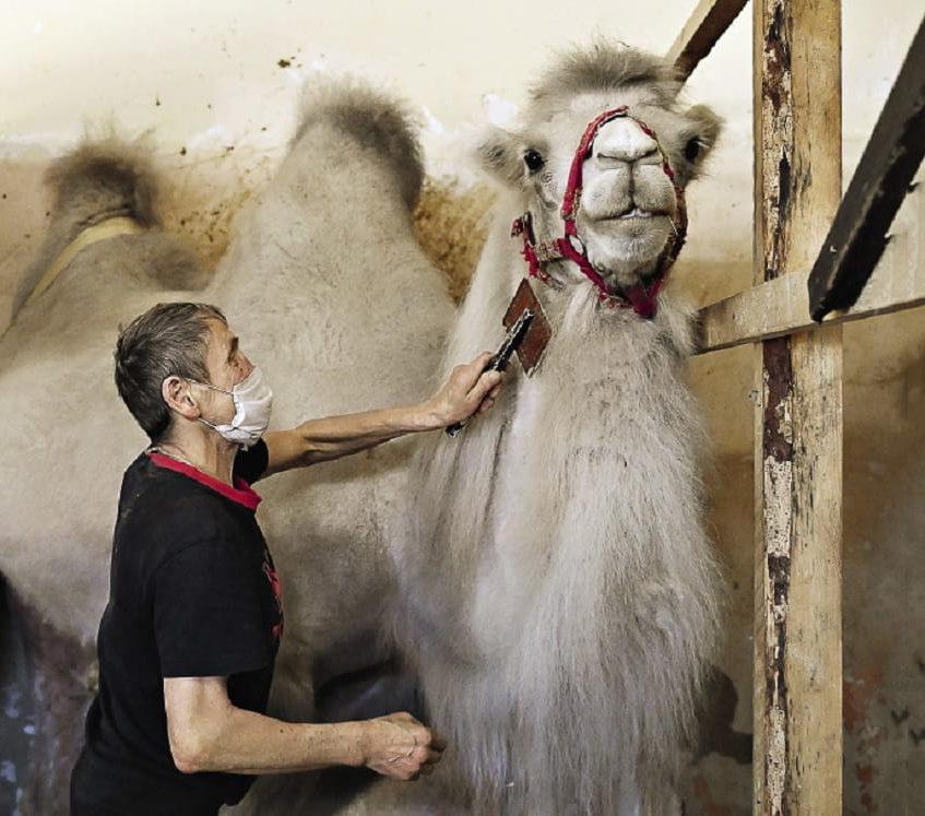 Сотрудник Сочинского цирка вычесывает верблюда - фото