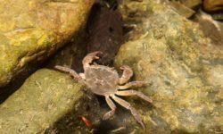 presnovodnyj-krab