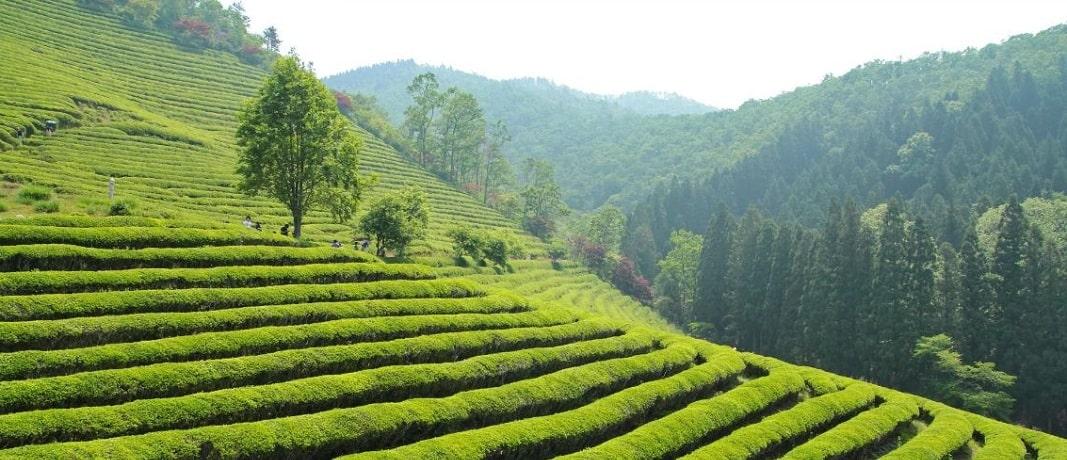 Чайные плантации - фото