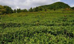 gornyj-edem-chajnye-plantacii